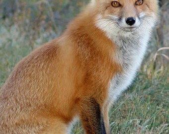 Fredrick the Fox -Close Up - Colorado - Rocky Mountains 8x12 Fine Art Giclee Print