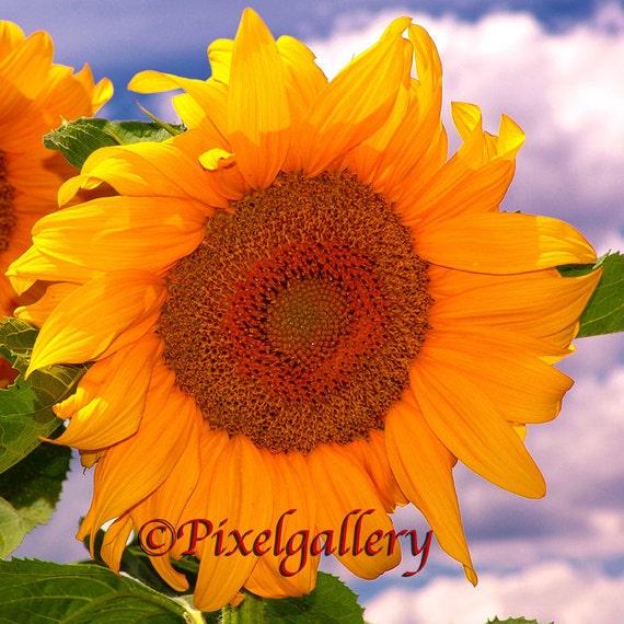 Sunflower 10x10 Fine Art Giclee Print