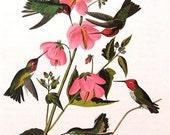 Vintage Bird Print 1979 Audubon Birds Hummingbird Vintage Art Print Collectable Book PLATE 28 Anna's Hummingbird Bird Pink Flowers