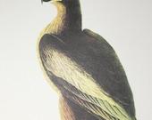 Audubon Bold Eagle Birds of America Vintage 1979 Art Print Collectable Book PLATE 44 Bold Eagle