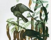 Audubon Birds Crow Vintage 1979 Art Print Collectable Book PLATE 48 FISH CROW Bird to Frame Home Decoration