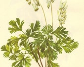 Vintage 1968 Color Print Wild Flowers of America Frameable Book PLATE 147 148 Toothwort and Dutchmans Breeches