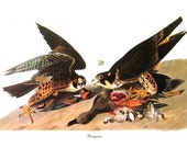 Audubon PEREGRINE Birds of America Vintage 1979 Art Print Collectable Frameable Book PLATE 116 Peregrine