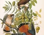 Audubon Birds of America Vintage 1979 Art Print Collectable Book PLATE 124 American Kestler or Sparrow Hawk