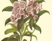 Vintage Botanical Flower Print 1968 Color Print Wild Flowers Book PLATE 261 262 Mountain Laurel and Western Menziesia pink flowers plant