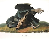 Audubon Birds of America Vintage 1979 Art Print Collectable Book PLATE 150 Black Vulture