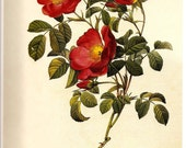 ROSES Print REDOUTE Color Plate 113 114 Creeping French Rose Grassland Rose in White