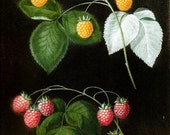 FRUIT PRINT RASPBERRIES 2002 Color Art Original Book Plate 49 Beautiful Red and Yellow Berries with Green Leaves