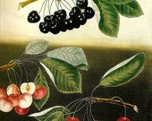 FRUIT CHERRIES Color Art Print Original Book Plate 61 Beautiful Black and Blush Pink Yellow Cherries With Tree Leaves and Branches