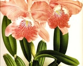 ORCHID Botanicals Art Print Original Book Plate 193 and 194 Beautiful Coral Pink  Large Orchids Flowers and White with Pink Orchids Plants with Blulbs and Roots and Ferns