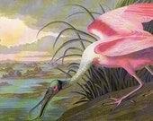 Bird Print Audubon Vintage 1979 Spoonbill Birds of America Art Collectable Book PLATE 20 Roseate Spoonbill Beautiful Pink Birf Lake Nature