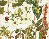 Vintage Botanical Print1970 Color Art Wild Flowers Book PLATE 156 Beautiful Whte California Honeysuckle Hobblebush Red Berries Pink Seeds