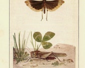 ANTIQUE 1924 BUTTERFLIES Color Art Print Book Plate Frameable Beautiful Carolina Locust Butterfly and Cricket with Clover Leaf