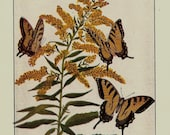ANTIQUE 1924 BUTTERFLIES Doublesided Color Art Print Book Plate Frameable Beautiful Tiger Swallowtail in Yellow with Yellow Flowers