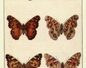 ANTIQUE 1924 BUTTERFLIES Doublesided Color Art Print Book Plate Frameable Beautiful Buckeye, Painted Beauty