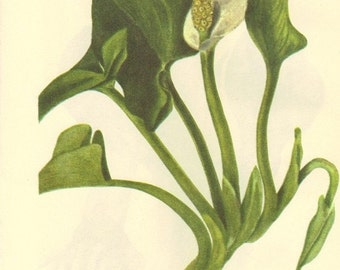 Vintage 1968 Bookplate Book PLATE 17 and 18 Color Print Wild Flowers of America Wild Calla and Skunk Cabbage