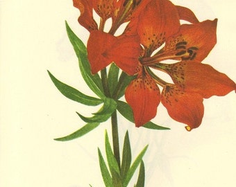 Vintage Botanical Print 1968 Lily Color Print Wild Flowers of America PLATE 35 and 36 Western Red Lily and Catalina Mariposa Bookplate