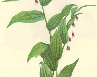 Vintage 1968 Botanical Print Wild Flowers of America Book PLATE 53 and 54 Western Twisted Stalk and Purple Trillium
