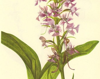 Vintage 1968 Color Print Orchis Wild Flowers of America Book PLATE 77 78 79 Purple Fringed Orchis Rein Heart Leaved Twayblade