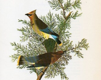 Audubon Birds Vintage 1979 Art Print Collectable Book PLATE 16 Cedar Waxwing on Pine Tree Branch Beautiful Nature to Frame