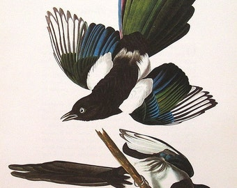 Audubon Birds Vintage 1979 Art Print Magpie Collectable Book PLATE 22 Black-Billed Magpie