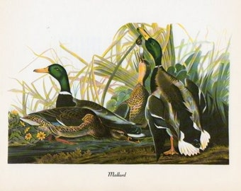Audubon Birds Vintage 1979 Art Print Collectable Book PLATE 30 Mallard Bird Lake Nature to Frame Wall Room Decoration