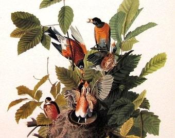 Audubon Bird Print Vintage 1979 Art Collectable Book PLATE 80 AMERICAN ROBIN Nest Tree Branch Sprint Nature