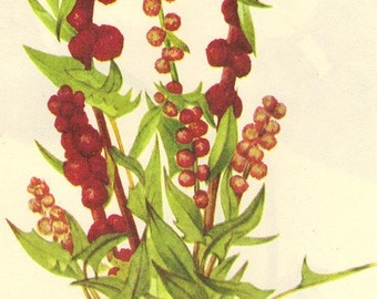 Vintage 1968 Color Print Wild Flowers of America Book PLATE 99 100 Strawberry Blite and Wild Ginger