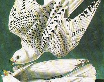 Vintage Bird Print Audubon Birds 1979 Art Print Collectable Book PLATE 88 WHITE GYRFALCON Interior Design Wall Decor