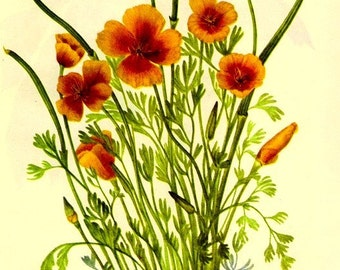 Vintage 1968 Color Print Wild Flowers of America Book PLATE 141 142 Mexican Poppy and May Apple