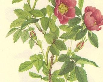 Vintage Botanical Print 1968 Color WILD ROSE Wild Flowers of America Book PLATE 184 185 Wild Rose Beautiful Flowers Rosebud Berries