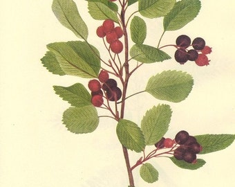 Vintage Berries Print 1968 Color Print Orchis Wild Flowers of America Book PLATE 190 and 191 Partridge Pea and Service Berry or Shad Bush