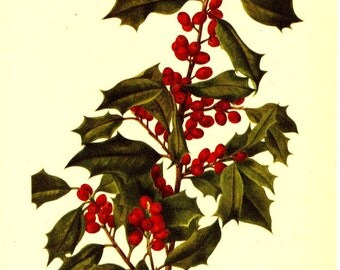 Vintage Botanical Print 1968 Color Print Wild Flowers of America Book PLATE 212 213 American Holly and Jaupon Cassena Red Berries Plant