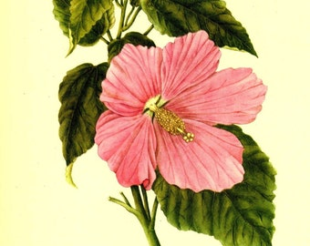 Vintage 1968 GERANIUM Color Print Wild Flowers of America Book PLATE 220 221 Rose Mallow GLobe-Mallow Beautiful Large Pink Flower to Frame