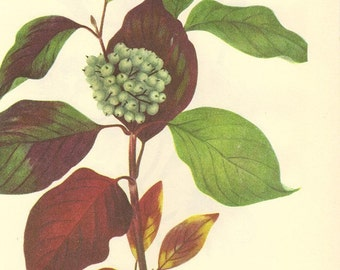 Vintage 1968 Color Print Wild Flowers of America Book PLATE 246 247 Flowering Dogwood and Red Osier Dogwood Large White Flower
