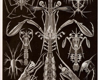 Ernst Haeckel Art Print Collectable Frameable Vintage 1974 Book PLATE 75 and 76 Crustaceans and Flukes