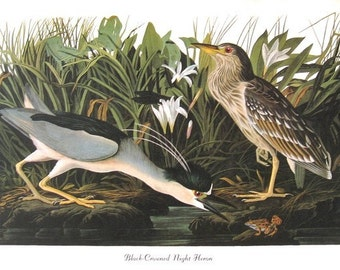 Audubon Birds Print Vintage 1979 Art Print Collectable Book PLATE 144 Black Crowned Night Heron White Flowers and Frog