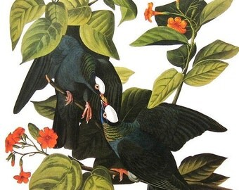 Audubon Birds of America Vintage 1979 Art Print Collectable Book PLATE 152 White Crowned Pigeon Orange Flowers