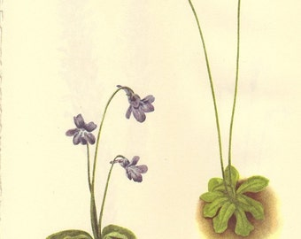 Vintage 1968 Color Print Wild Flowers of America Book PLATE 347 348 349 350 Southern Butterwort and Cancer Root and Squaw Root