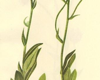 Vintage Botanical Print 1968  PLATE 377 378 Meadow Fleabane and Fleabane