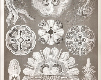 Ernst Haeckel SEASHELLS Art Print Beautiful Frameable Collectable Vintage 1974 Book PLATE 97 98 Semaeostomaeae Jellyfishes Lamp Shells