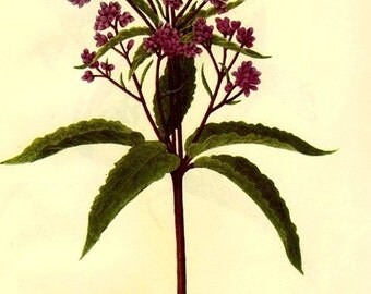 Vintage Botanical Print 1968 Color Print Wild Flowers of America Book PLATE 393 394 Butterbur and Joe-Pye Weed in Purple Violet Color