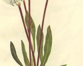 Vintage 1968 Color Print Wild Flowers of America Book PLATE 397 398 Saussurea Slender Agoseris Dandeloin Plant to Frame