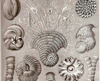 Ernst Haeckel Shells Art Print Collectable Vintage 1974 Book PLATE 11 and 12 Protozoa and Radiolaria