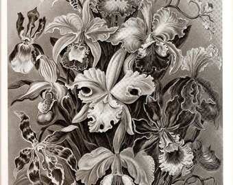 Ernst Haeckel ORCHID Art Print Beautiful Frameable Collectable Vintage 1974 Book PLATE 73 and 74 Ascomycetes and Orchids Flowers  Plants
