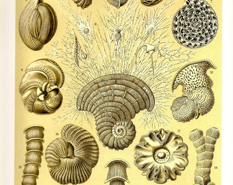SEA SHELLS Art Print Ernst Haeckel 2010 Beautiful Colored Book PLATE 11 12 Thalamophora  Beautiful Ivory Background with Shells and Corals