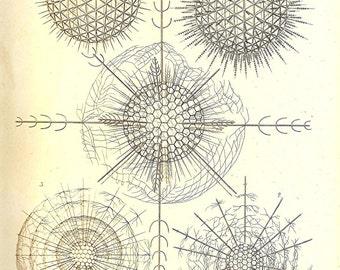 Ernst Haeckel OCEAN Lithograph Art Print Beautiful Book PLATE 10 Diplosphaera Gracilis, Arachnosphaera Oligacantha