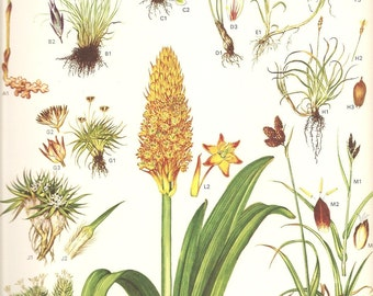 Vintage 1970 BOTANICAL Wildflower Color Art Print Bookplate 7 Short Leaved Scottish Asphodel Rock Sedge Large Yellow Garden Plant