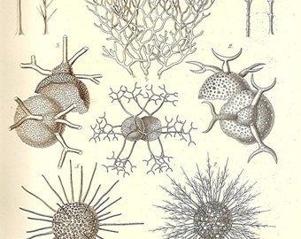 Ernst Haeckel Print OCEAN 2010 Art Beautiful Colored Book PLATE 13 Coelodendrum Bifurcus Light Ivory Corals Sea Urchin