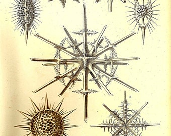 Ernst Haeckel Print OCEAN 2010 Art Beautiful Colored Book PLATE 17 Detailed Stars on Ivory Background